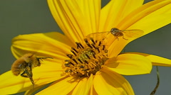 Slow motion honey bee and hoverfly. Stock Footage