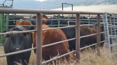 Cows in cattle yard Stock Footage