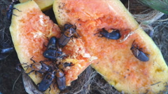 Red palm weevil Stock Footage