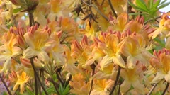 Dron, Azalea Mollis in bloom - full screen yellow orange flowers Stock Footage