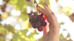 Woman hand picking bunch of grapes Stock Footage