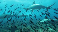 Hammerhead sharks passing over the reef Stock Footage