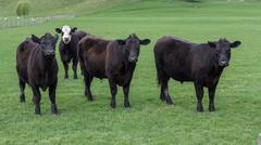 Angus cattle Stock Photos