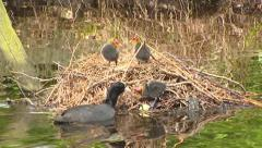 Common coot (fulica atra) feeds hatchlings on floating nest Stock Footage