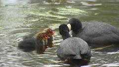 Common coot (fulica atra) pair feeding hatchlings in pond Stock Footage