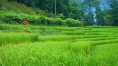 Rice fields in northern Thailand, Chiang Mai. Buddhist monks passing plantation - stock footage