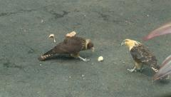 Panama: yellow-headed caracara (Milvago chimachima) falcons Stock Footage