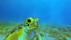 A young sea turtle eating sea grass at the bottom of the ocean Stock Footage