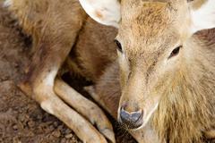 Axis Deer - stock photo