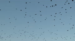 A Flock of Crows In Flight Flying Stock Footage