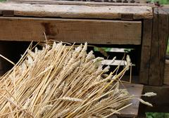 bunch of wheat stalks with the old machine to collect seeds - stock photo
