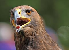 Big golden eagle with a yellow beak and bright eyes Stock Photos