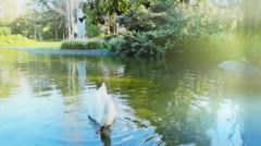 Stock Video Footage of swan lake in the romantic park lake