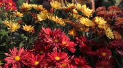 Brightly colored Daisy Stock Footage