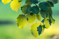 green leaves of hazel - stock photo