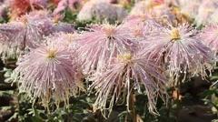 Stock Video Footage of Shy girl Chrysanthemum