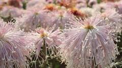 Shy girl Chrysanthemum Stock Footage