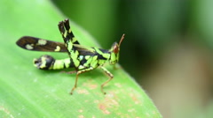 Green grasshopper on leaf in nature Stock Footage