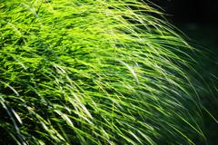 long leaves of grass illuminated by sun - stock photo