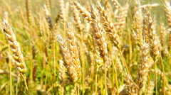 field of wheat on the wind - stock footage