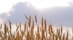 Ripe ears of wheat in the field wave on a wind Arkistovideo