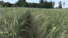 Ripe barleycorn plant crop ears move in wind Stock Footage