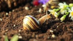 Garden Snails 7 - stock footage