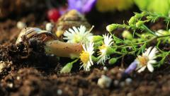 Garden Snails 9 - stock footage