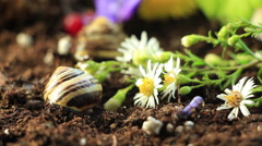 Garden Snails 11 - stock footage