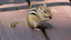 Portrait of cute chipmunk eating on the deck. - stock footage
