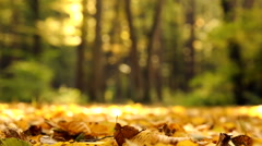 Yellow autumn maple leaves in the forest. Stock Footage