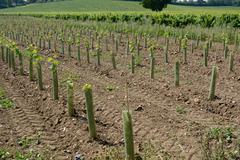 New vines in english vineyard Stock Photos
