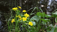 Kingcup flowers and slowly streaming river Stock Footage