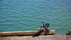 Cormorant drying its wings Stock Footage