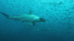 Many hammerhead sharks - stock footage
