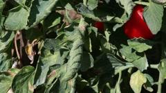 Fire blight  - disease of tomato plants Stock Footage