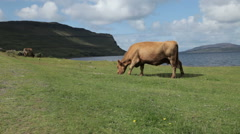 Cows grazing on the Isle of Mull, Scotland Stock Footage