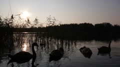 Young swans grounding on the beautiful lake at sunset Stock Footage