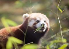 Beautiful red panda in natural habitat Stock Photos