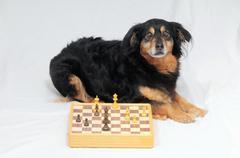 Smart dog playing chess Stock Photos