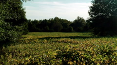 Soybean field nearing harvest Stock Footage