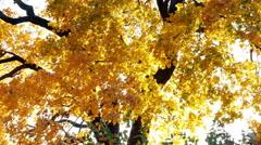beautiful autumn tree at sunset - stock footage
