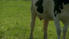 Cow standing in meadow/pasture of traditional Dutch farmland - Udder detail Stock Footage