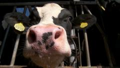 Cow in Dutch cowshed interacting and playing with camera Stock Footage