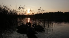 Young swan family swimming on the lake in the sunset Stock Footage