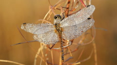 dragonfly wakes - stock footage