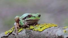 Green Tree Toad, Hyla arborea arborea Stock Footage