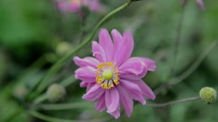 Pink anemone flower Stock Footage
