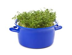 Garden cress in blue casserole isolated on white Stock Photos
