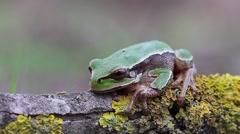 Sneaky Tree Toad, Hyla arborea arborea Stock Footage